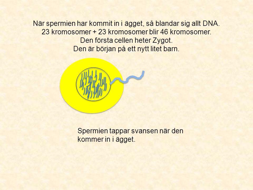 När spermien har kommit in i ägget, så blandar sig allt DNA
