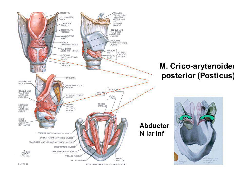 M. Crico-arytenoideus posterior (Posticus) Abductor N lar inf