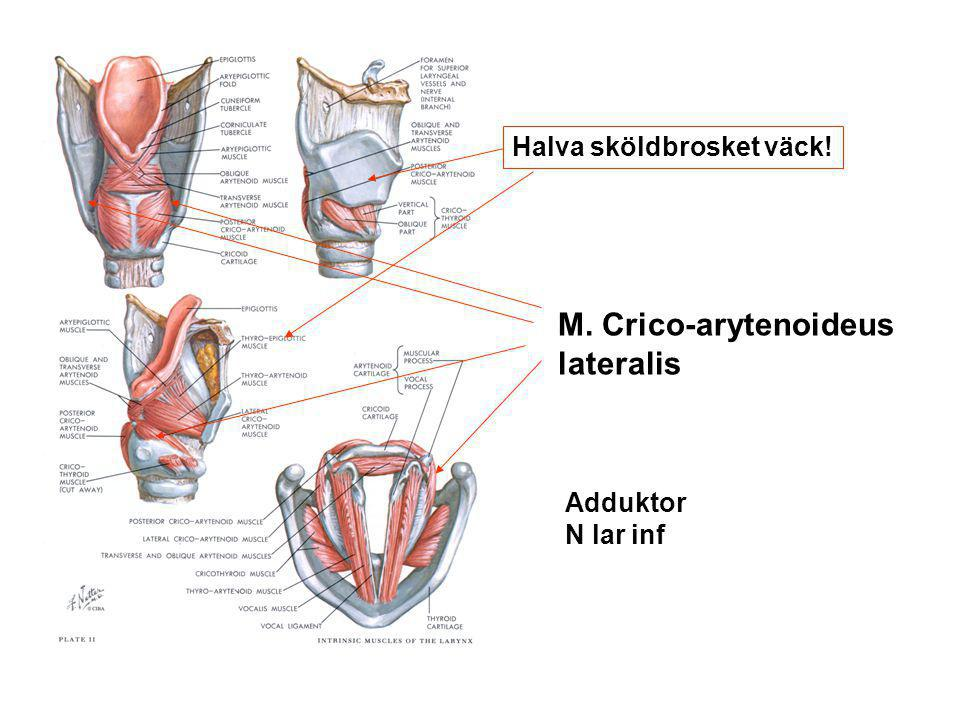 M. Crico-arytenoideus lateralis