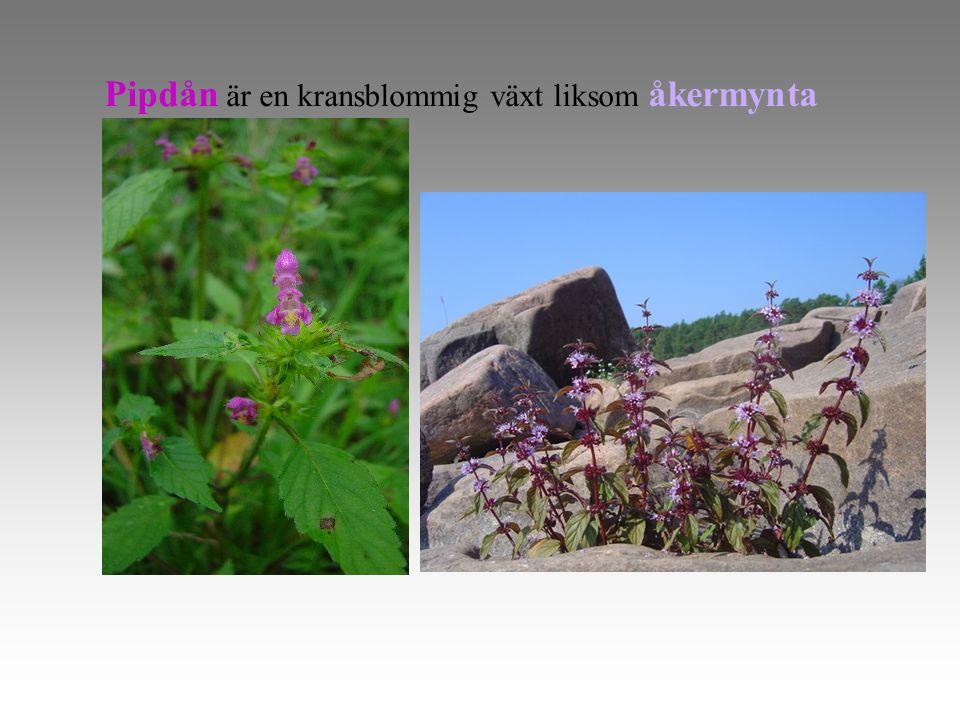 Pipdån är en kransblommig växt liksom åkermynta