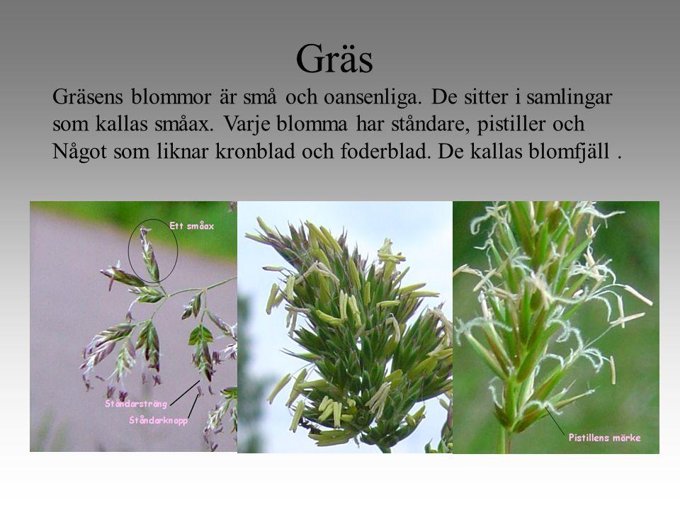 Gräs Gräsens blommor är små och oansenliga. De sitter i samlingar