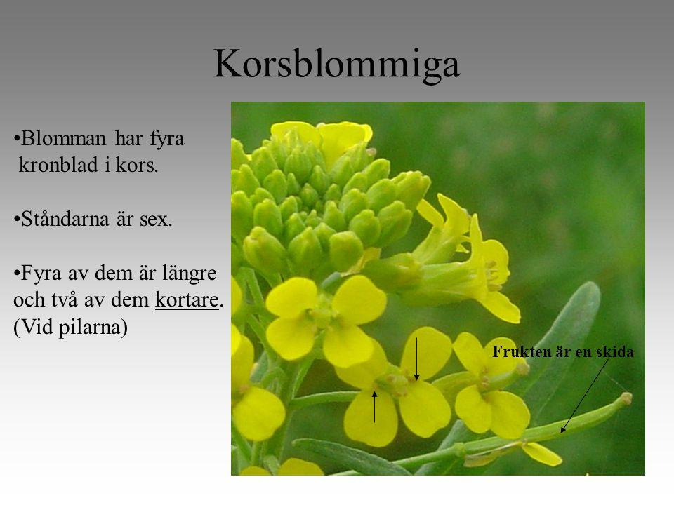 Korsblommiga Blomman har fyra kronblad i kors. Ståndarna är sex.
