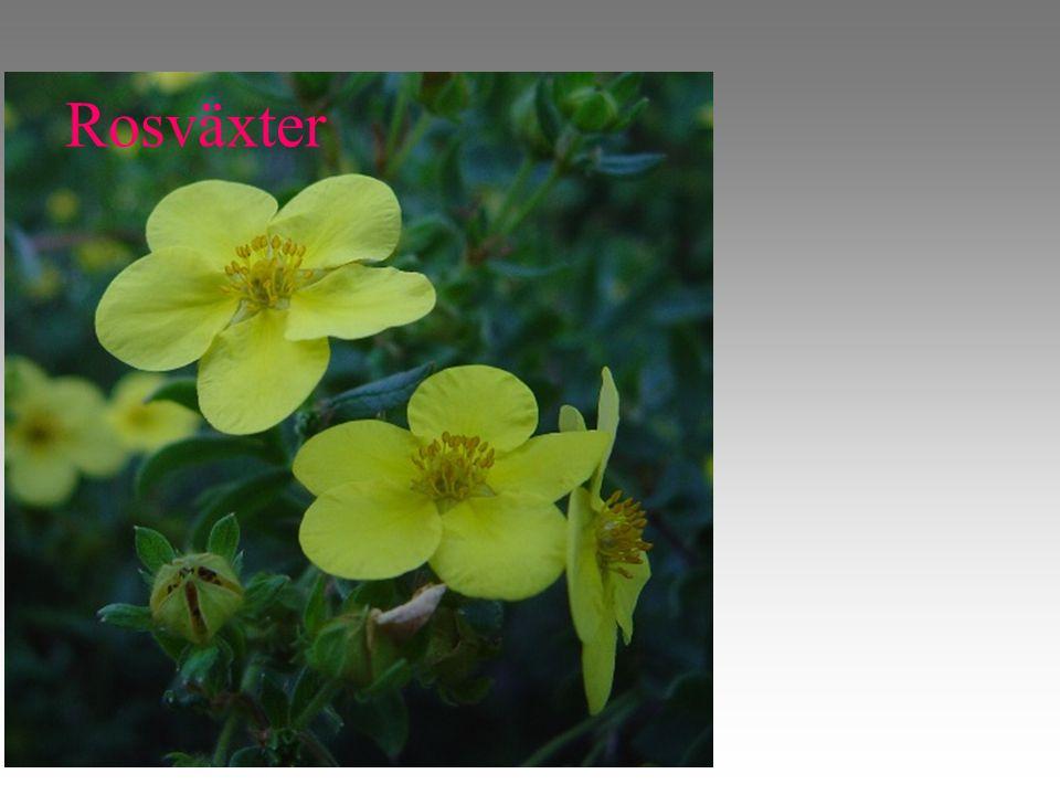 Rosväxter