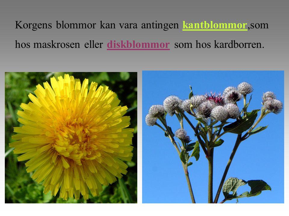Korgens blommor kan vara antingen kantblommor,som hos maskrosen eller diskblommor som hos kardborren.