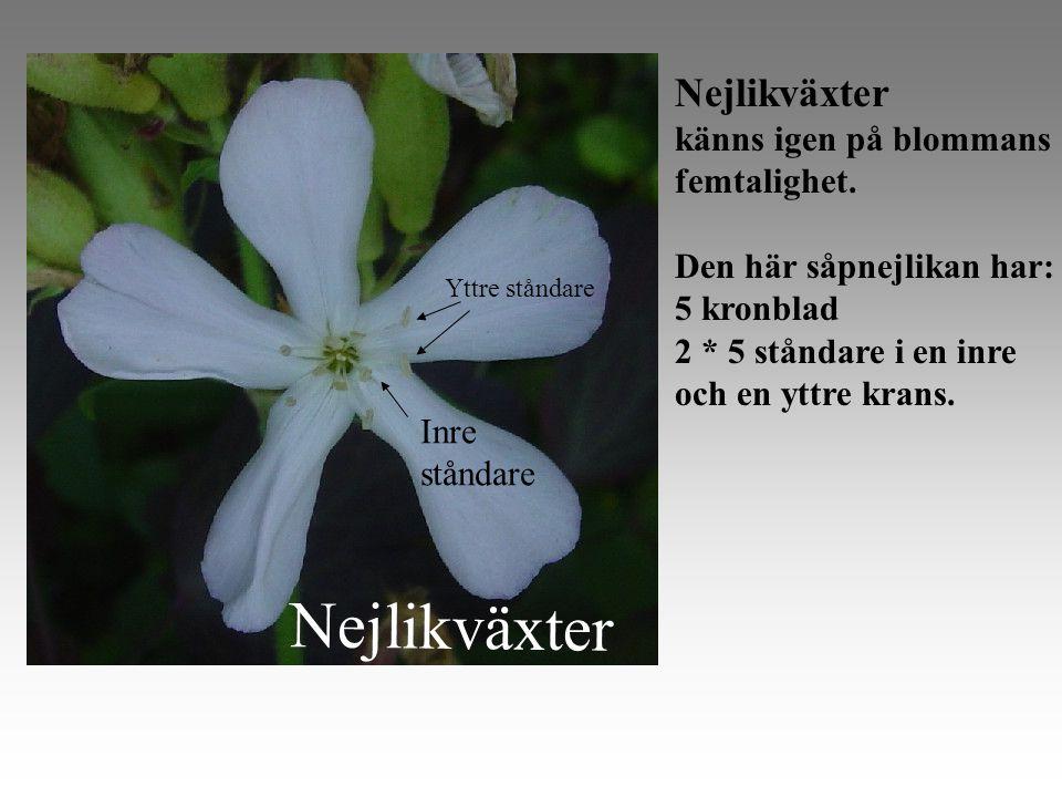 Nejlikväxter Nejlikväxter känns igen på blommans femtalighet.