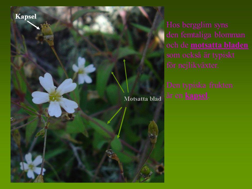 Hos bergglim syns den femtaliga blomman och de motsatta bladen