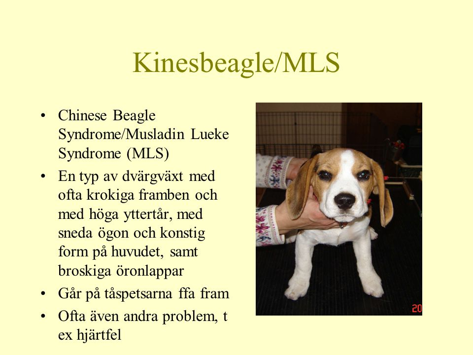 Kinesbeagle/MLS Chinese Beagle Syndrome/Musladin Lueke Syndrome (MLS)