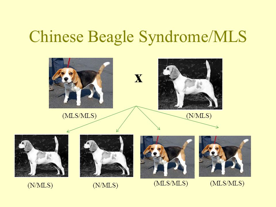 Chinese Beagle Syndrome/MLS