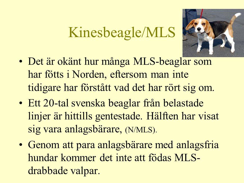Kinesbeagle/MLS Det är okänt hur många MLS-beaglar som har fötts i Norden, eftersom man inte tidigare har förstått vad det har rört sig om.