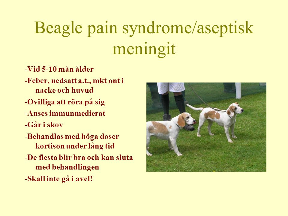 Beagle pain syndrome/aseptisk meningit
