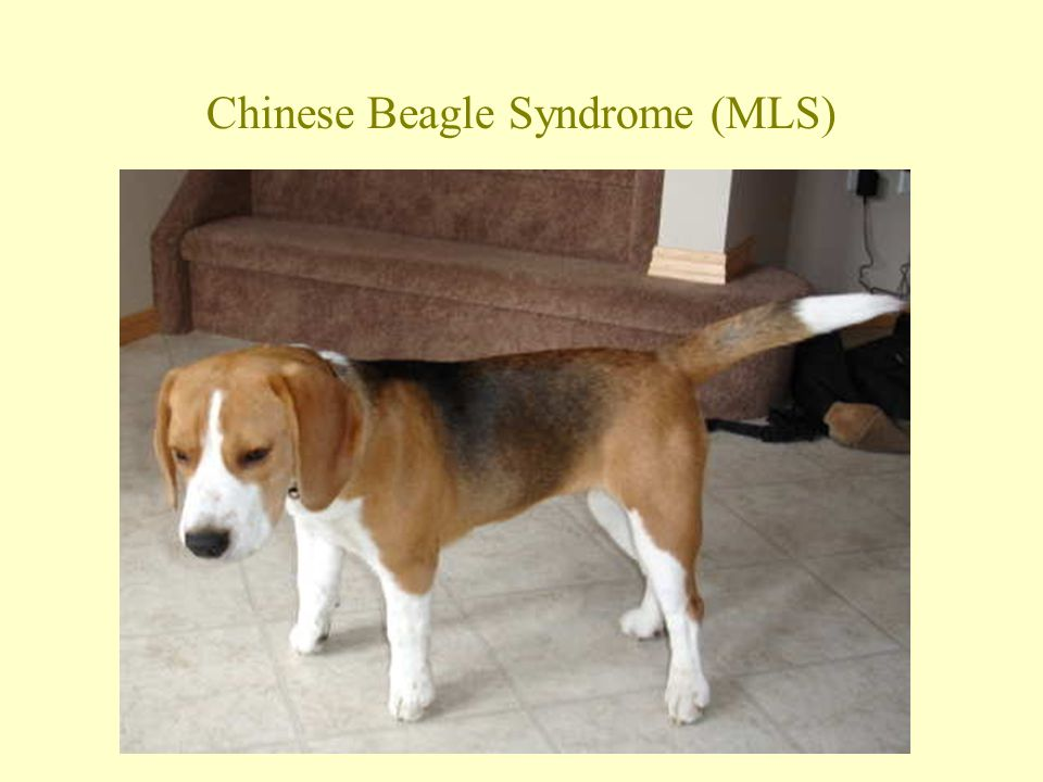 Chinese Beagle Syndrome (MLS)