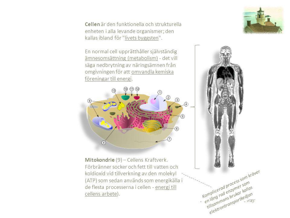 Mitokondrie (9) – Cellens Kraftverk.