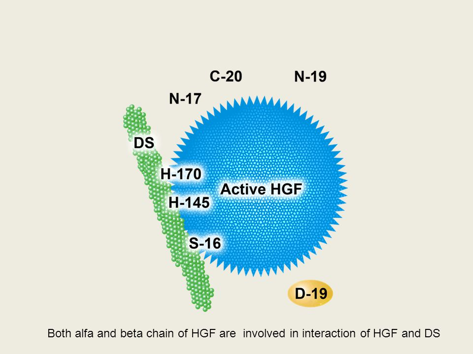 Both alfa and beta chain of HGF are involved in interaction of HGF and DS