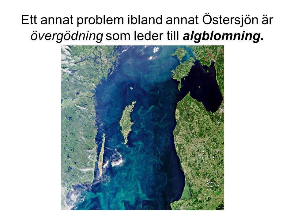 Ett annat problem ibland annat Östersjön är övergödning som leder till algblomning.