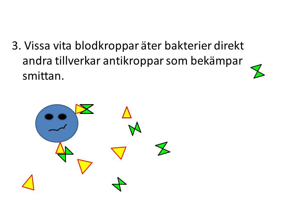 3. Vissa vita blodkroppar äter bakterier direkt andra tillverkar antikroppar som bekämpar smittan.