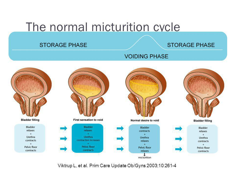 The normal micturition cycle