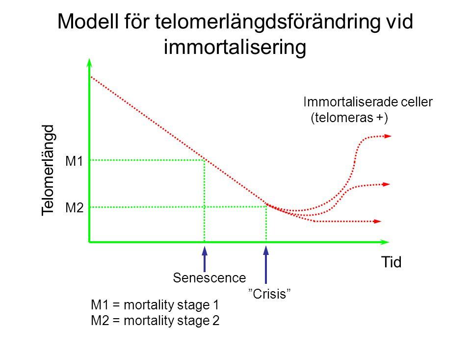 Modell för telomerlängdsförändring vid immortalisering