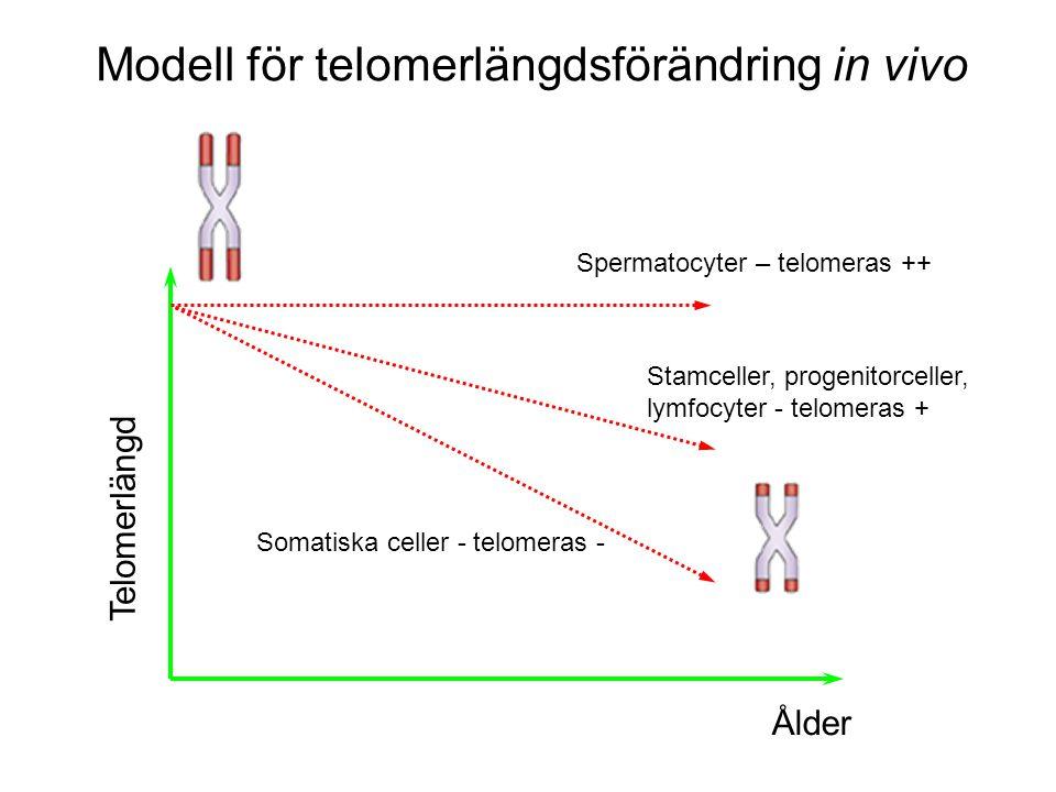 Modell för telomerlängdsförändring in vivo