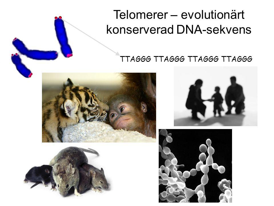 Telomerer – evolutionärt konserverad DNA-sekvens
