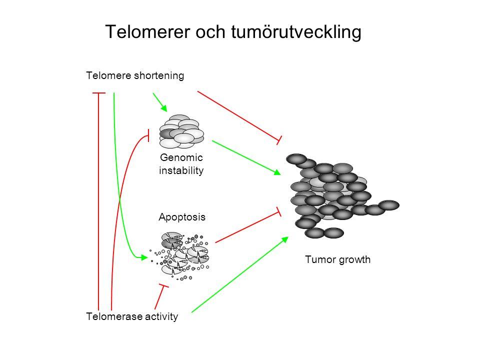 Telomerer och tumörutveckling