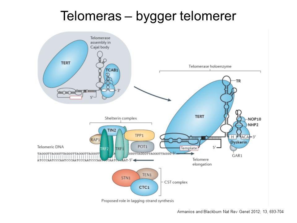 Telomeras – bygger telomerer