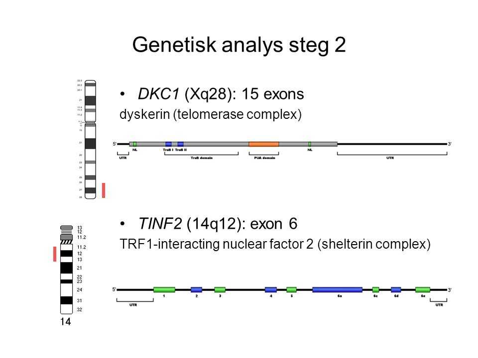 Genetisk analys steg 2 DKC1 (Xq28): 15 exons TINF2 (14q12): exon 6