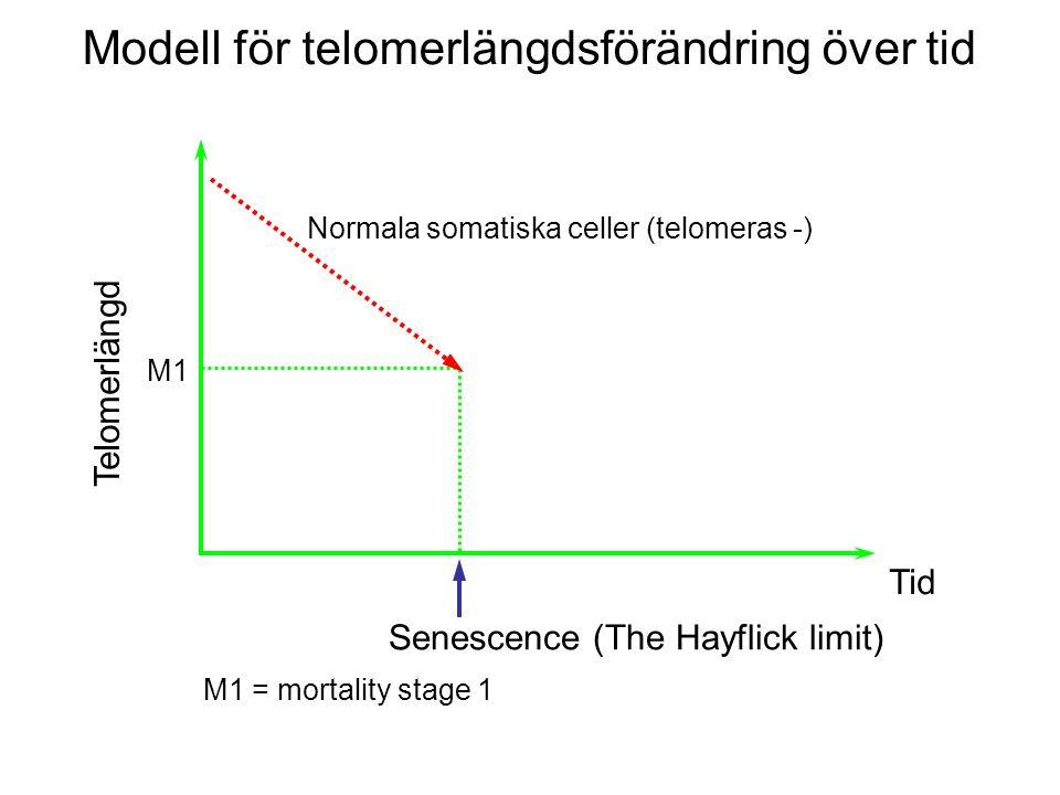 Modell för telomerlängdsförändring över tid