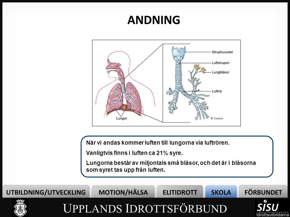 ANDNING Bild 4 När vi andas kommer luften till lungorna via luftrören.