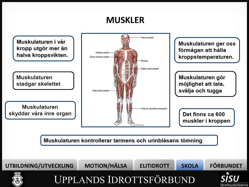 Muskulaturen skyddar våra inre organ