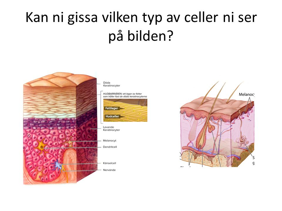 Kan ni gissa vilken typ av celler ni ser på bilden