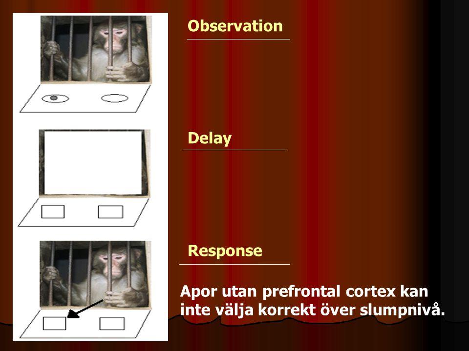 Observation Delay Response Apor utan prefrontal cortex kan inte välja korrekt över slumpnivå.