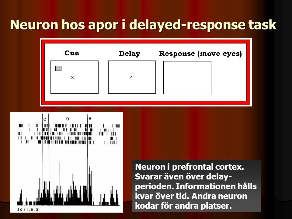 Neuron hos apor i delayed-response task