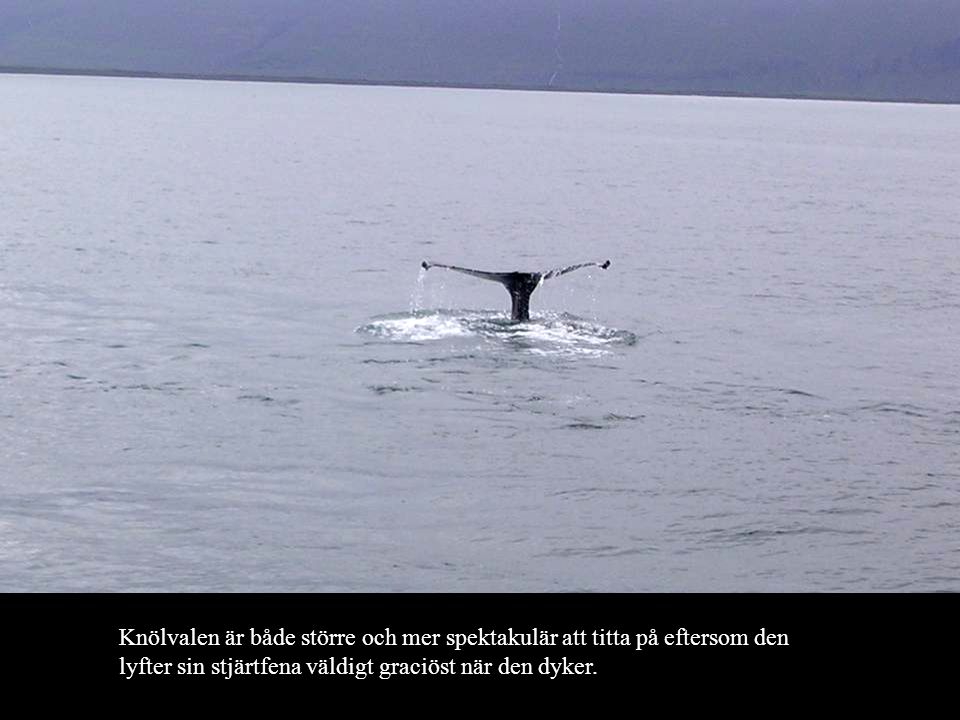 Knölvalen är både större och mer spektakulär att titta på eftersom den lyfter sin stjärtfena väldigt graciöst när den dyker.