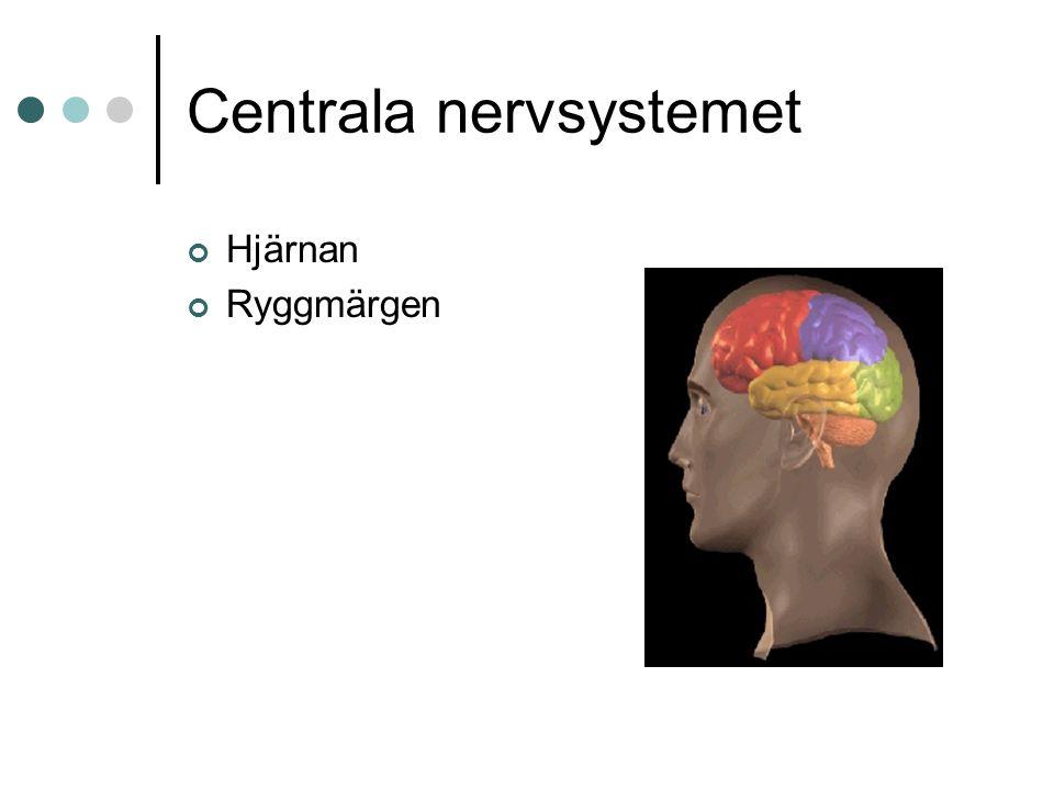 Centrala nervsystemet