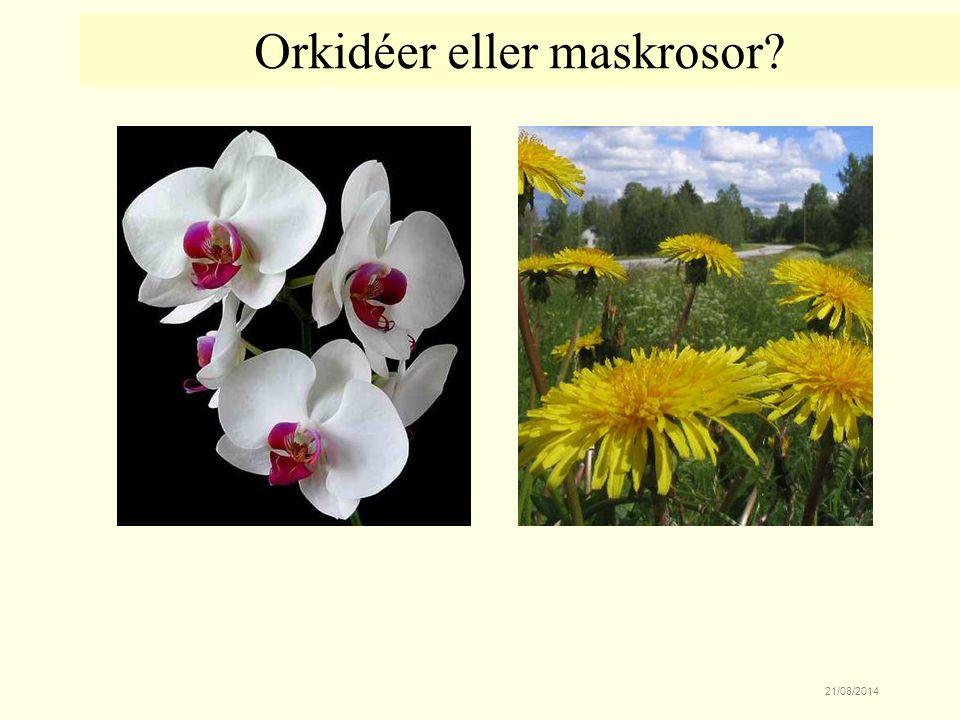 Orkidéer eller maskrosor