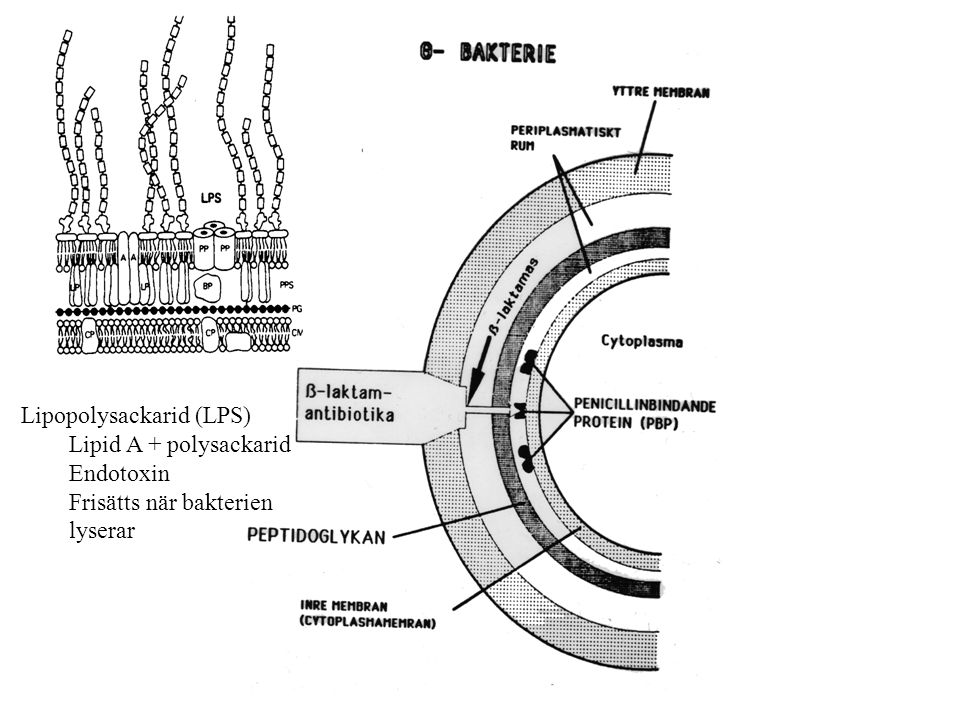 Lipopolysackarid (LPS)