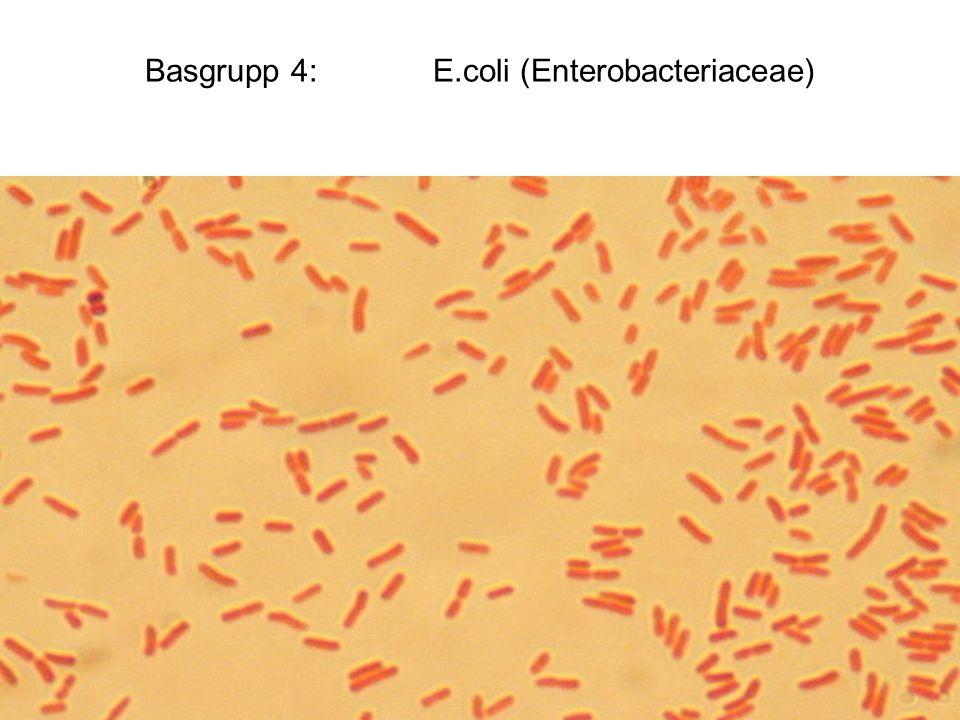 Basgrupp 4: E.coli (Enterobacteriaceae)