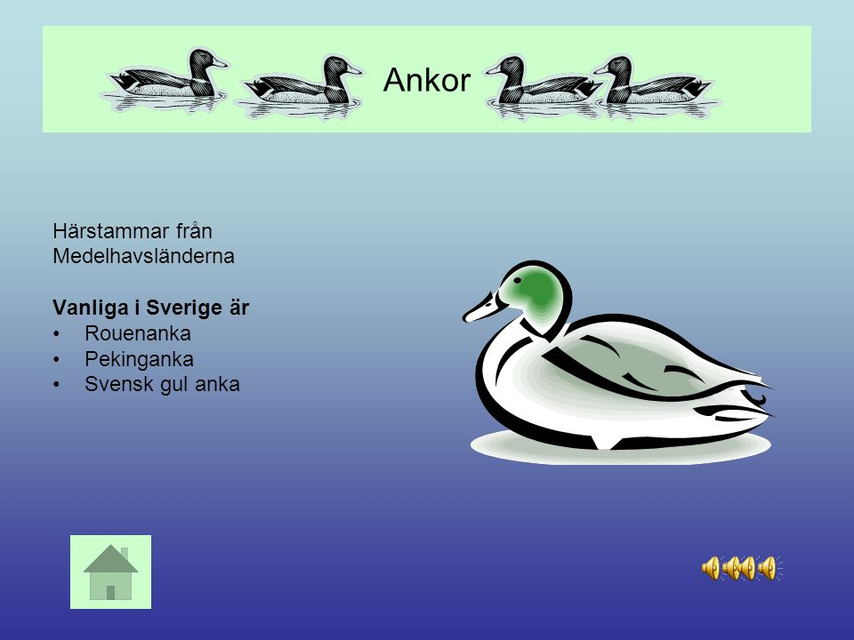 Ankor Härstammar från Medelhavsländerna Vanliga i Sverige är Rouenanka