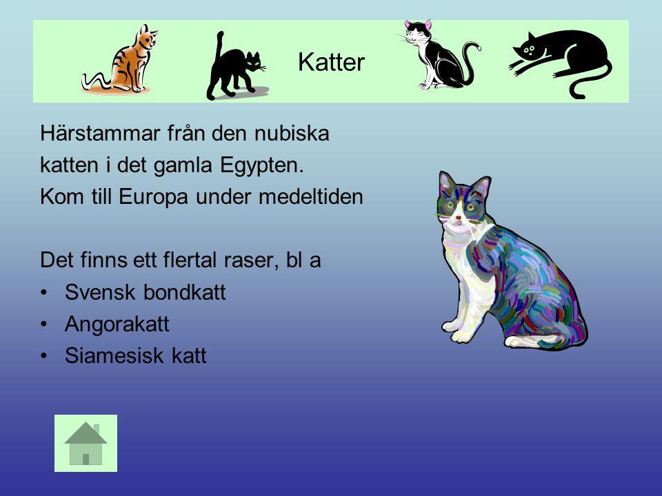 Katter Härstammar från den nubiska katten i det gamla Egypten.