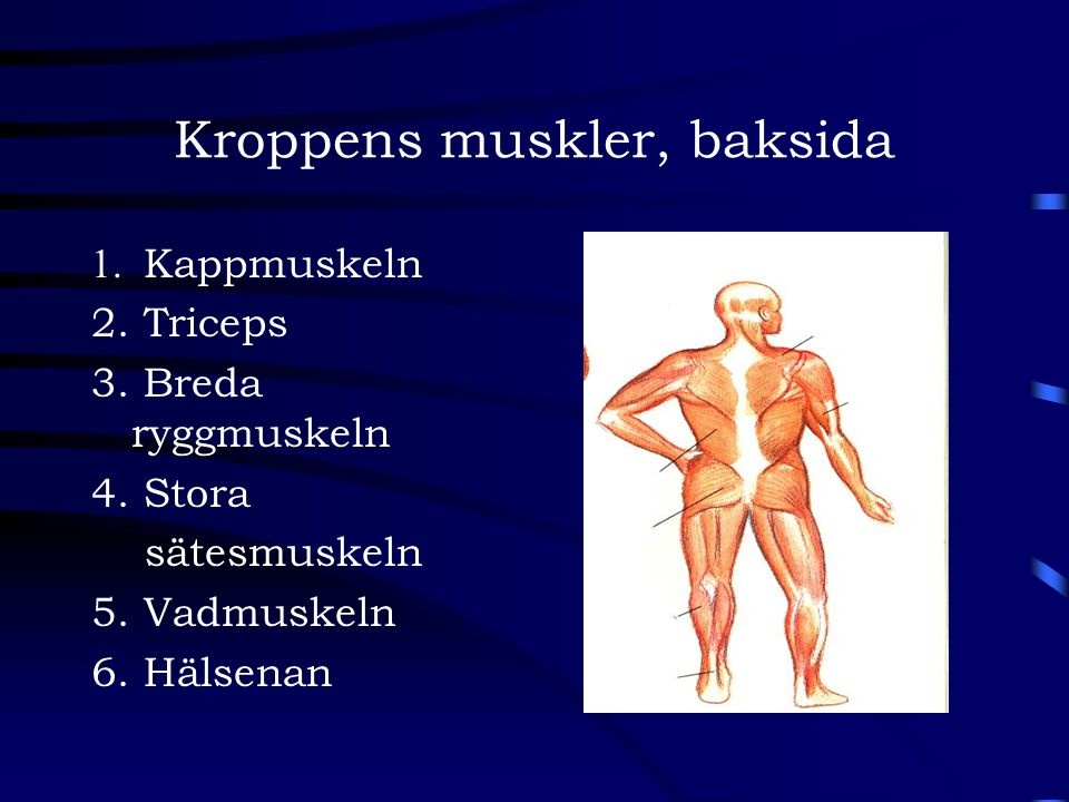 Kroppens muskler, baksida