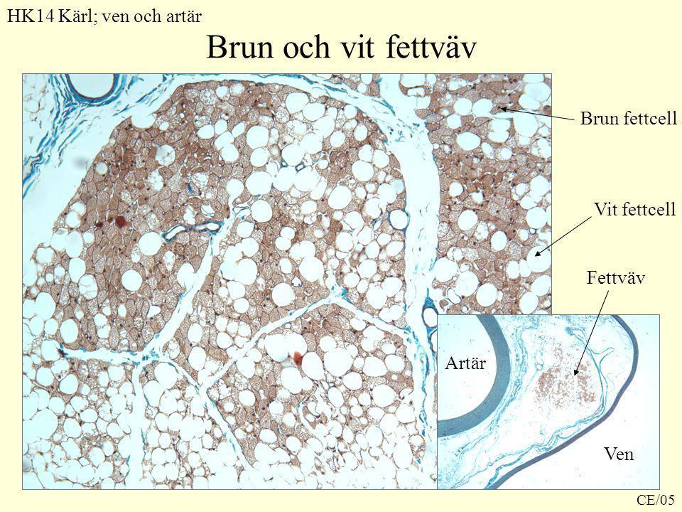 Brun och vit fettväv HK14 Kärl; ven och artär Brun fettcell
