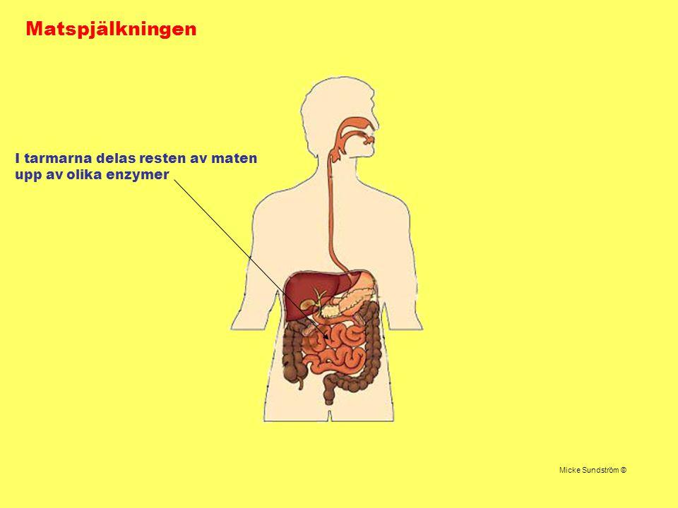 Matspjälkningen I tarmarna delas resten av maten upp av olika enzymer