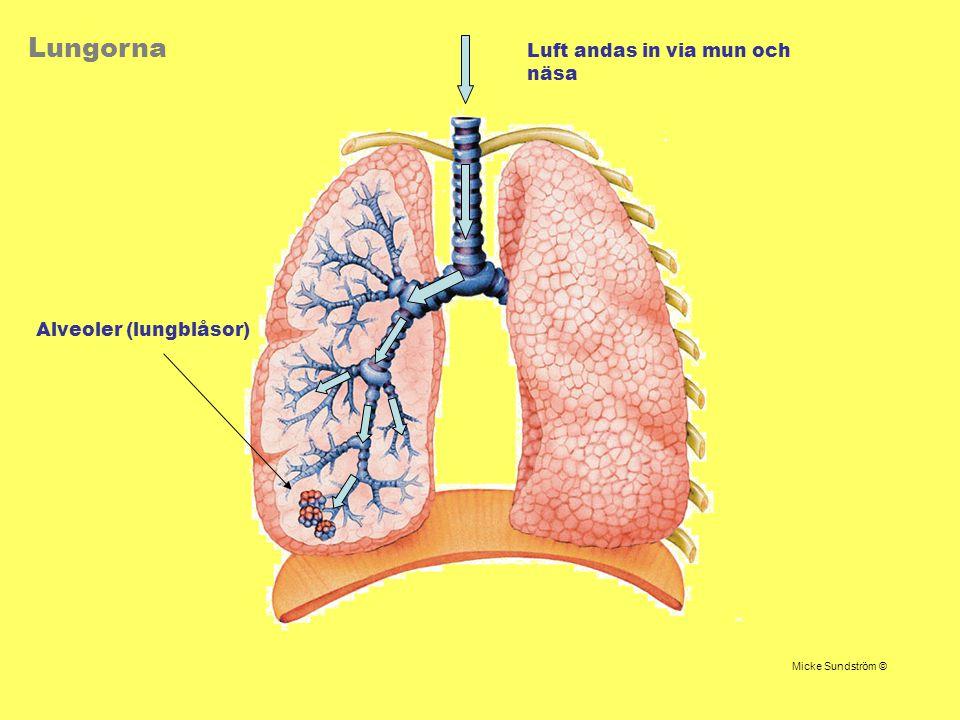 Lungorna Luft andas in via mun och näsa Alveoler (lungblåsor)