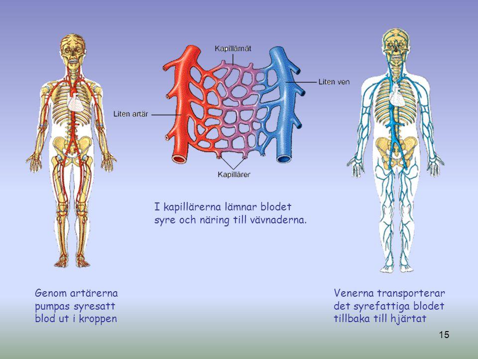 I kapillärerna lämnar blodet syre och näring till vävnaderna.