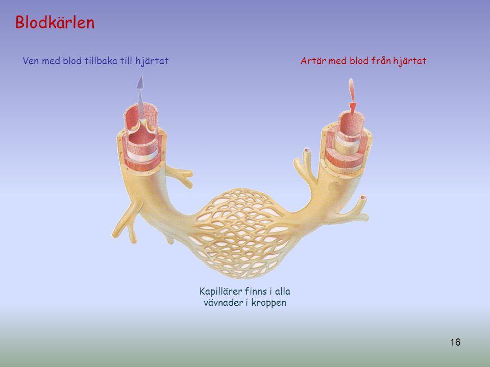 Kapillärer finns i alla vävnader i kroppen