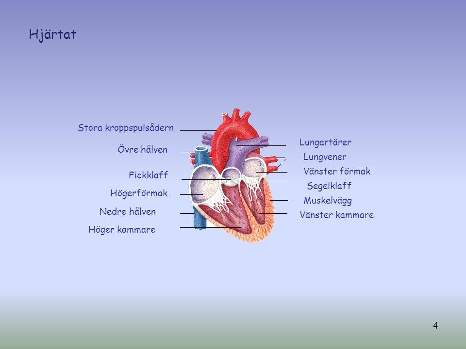 Hjärtat Stora kroppspulsådern Lungartärer Övre hålven Lungvener