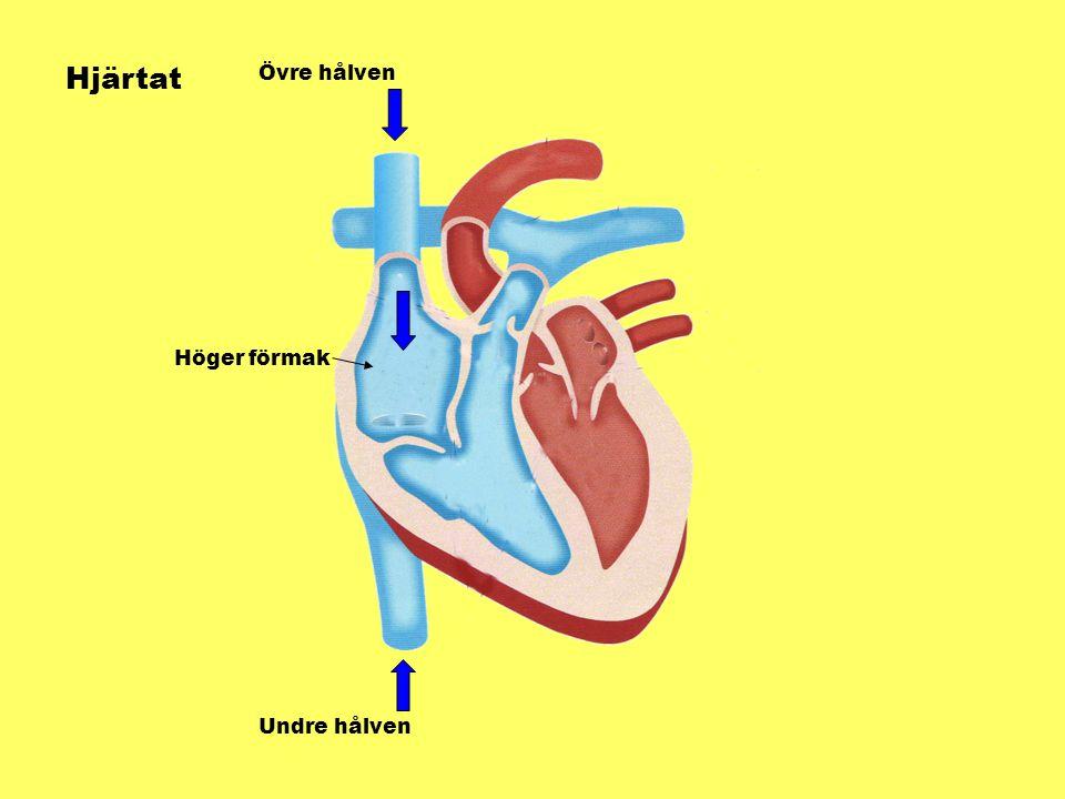 Hjärtat Övre hålven Höger förmak Undre hålven
