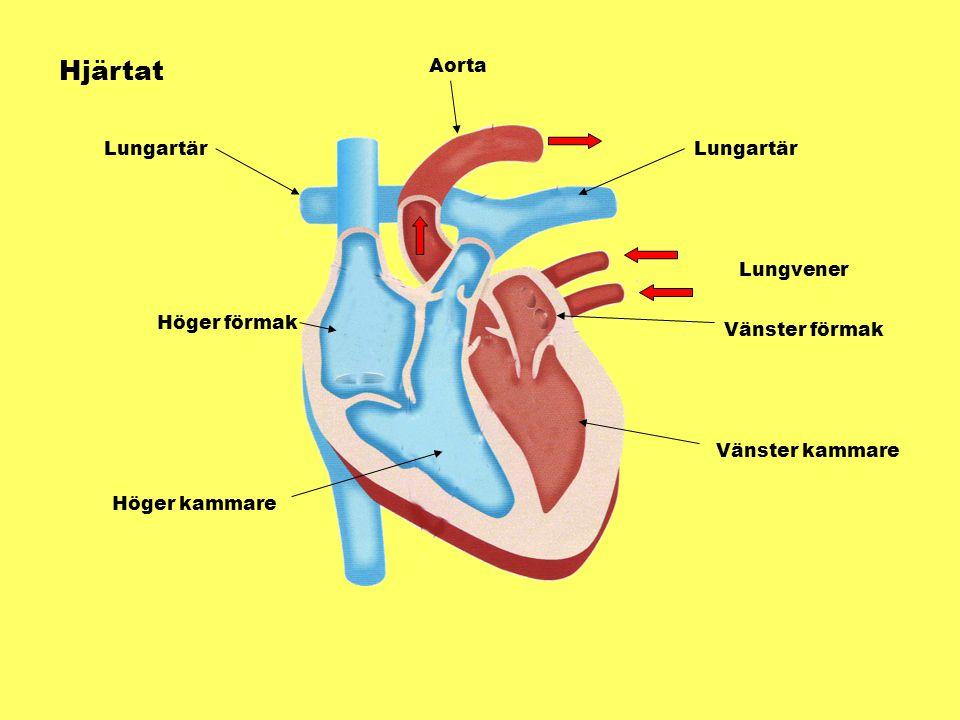 Hjärtat Aorta Lungartär Lungartär Lungvener Höger förmak