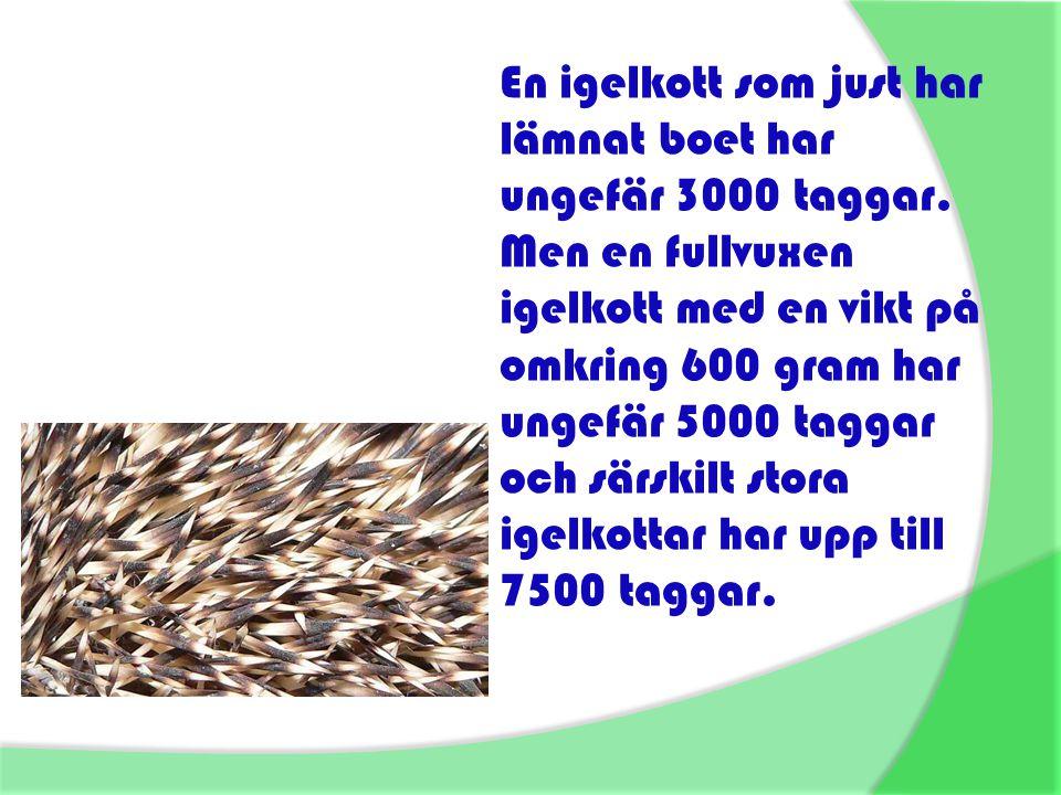 En igelkott som just har lämnat boet har ungefär 3000 taggar