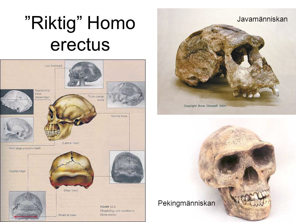 Riktig Homo erectus Javamänniskan Pekingmänniskan